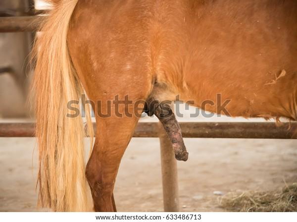 sex horse