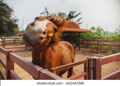 Horse shakes his head on farm close-up. Horse on  nature. Portrait of brown horse.  Humor photocard