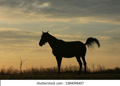 Horse silhouette standing in a field in the early morning at sunrise