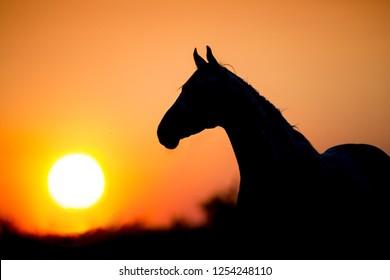 Horse silhouette at sunset light