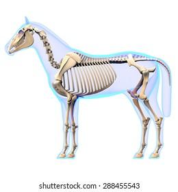 Horse Skeleton Side View Anatomy - isolated on white