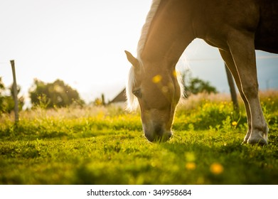 A horse is sniffing grass.