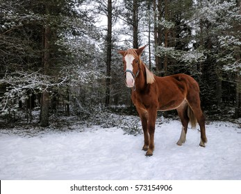 Horse in snowy forest