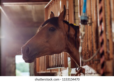 Horse in stable. Beautiful brown racing horse standing in big spacious stable outside the city