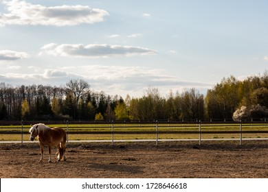 Horse standing alone lonely on paddock. Equestrian serenity landscape view. Haflinger mare. Poland, Europe.