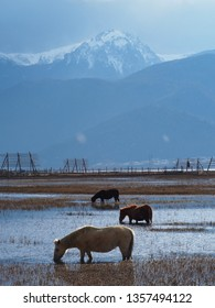 Horse stay in the water of Napa Hai lake with the snow mountain as a background , Shangri-La Yunnan China.