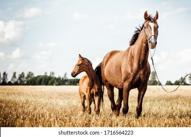 Horse Stud and her beautiful foal on a field