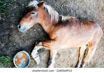 Horse suffering from laminitis, lying on the ground , family farm, Webster County, West Virginia, USA