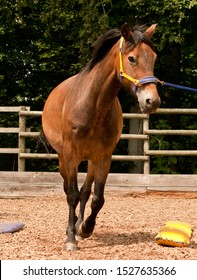 horse training groundwork horsemenship with cavesson on lunge