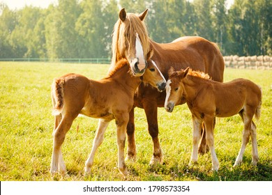 A horse with two foals is eating grass in the pasture. Portrait of horses on the background of nature. Horse breeding, animal husbandry