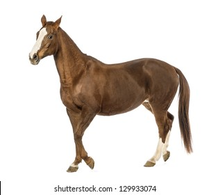 Horse walking in front of white background