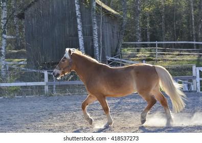 Horse walking on farm yard