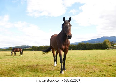 Horse walking towards camera and another horse eating grass