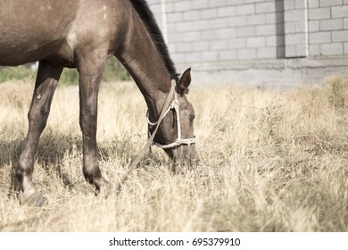 The horse walks in the courtyard and eats the grass