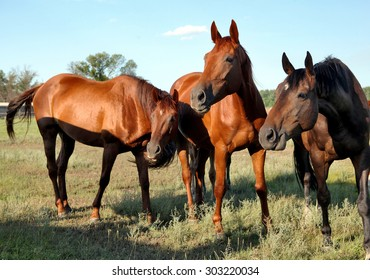 A horse walks in the field. The foal is walking with his parents in a meadow. Little pony. Thoroughbred horse breed. Thoroughbred a stallion. Three huge horse.