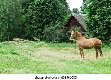 The horse walks in a field near a wooden house