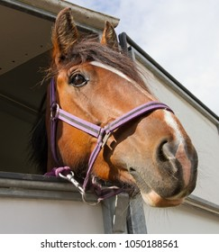Horse wearing head collar looking  out from horsebox