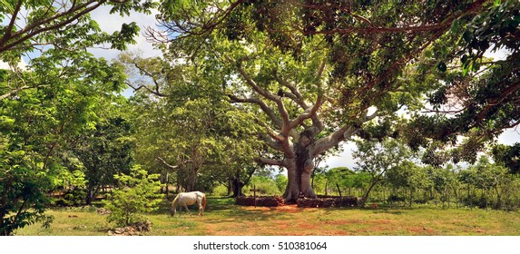 The horse who is grazing under a tree ceiba on the ranch, Cuba