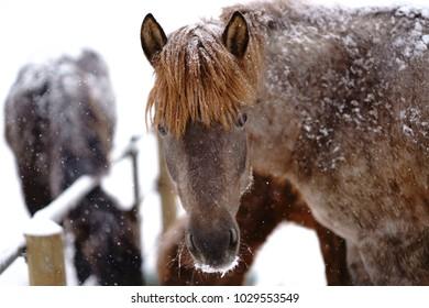 horse in winter hokkaido