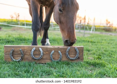 Horse without horseshoes on the paddock, green meadow during the sunset looking at 4 horseshoes mounted on a wooden board.