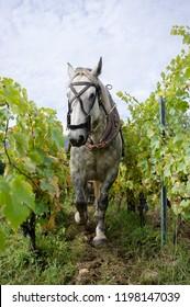 Horse working in a vineyard Apremont Savoy, France.