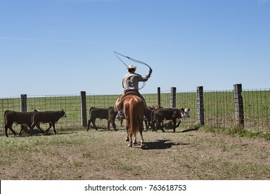 Horseback riding cowboy herding cattle with lasso rope at farm on sunny day, Kansas, USA