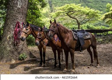 Horseback Riding in the Lush Green Waipio Valley of Hawaii