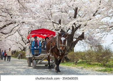 A horse-driven carriage in Sakura tunnel, Tenshochi park, Kitakami city, Iwate prefecture, Japan on April 27, 2014