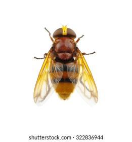 Horsefly isolated on white