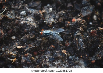 Horsefly land on ground. Cattle gadfly, gray female, with red eyes. Diptera fly. Lateral view.