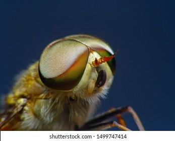 Horsefly, Tabanidae  super Macro and Extreme marco  short