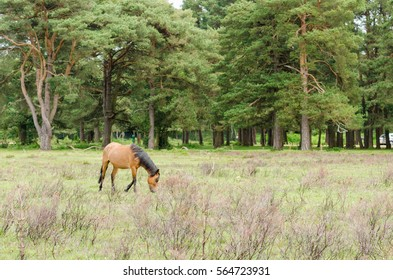 A horse/pony grazing in the New Forest National Park