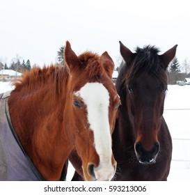 Horses - Shutterstock ID 593213006