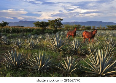Horses at Agave field for Tequila production, Jalisco, Mexico