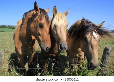 Horses in aveyron.