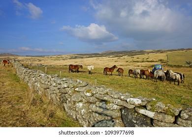 Horses being fed on Dartmoor near Hexworthy, Dartmoor National Park, Devon, England