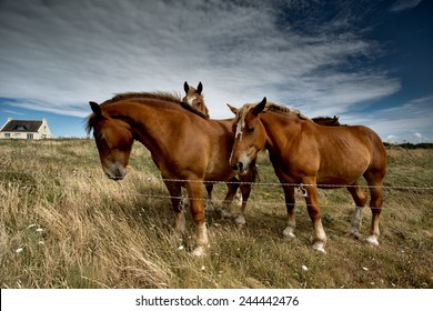 Horses in Brittany France on the pasture in Summer