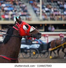Horses at chuckwagon races