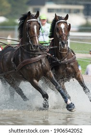 Horses competing in carriage driving competition in full harness and leg protection boots going through water obstacle