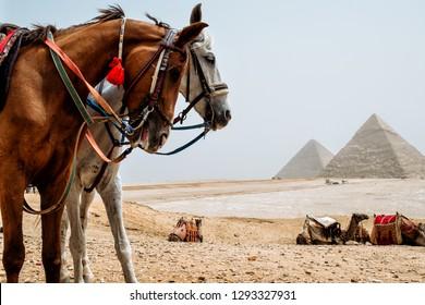 horses in desert near pyramids in Giza, Egypt