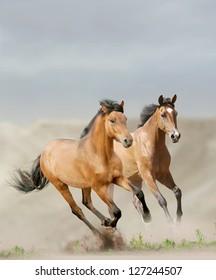 horses in dust running