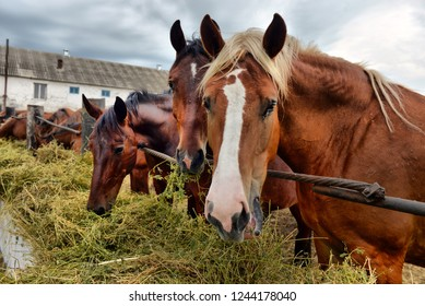 horses eating hay on the farm