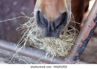 Horses eating hay provided, Horse eating hay.