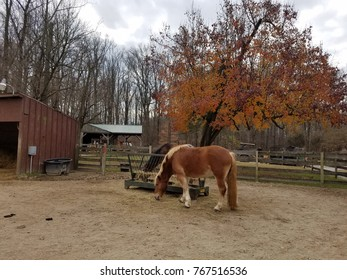 horses eating straw or hay