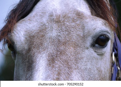 the horse's face