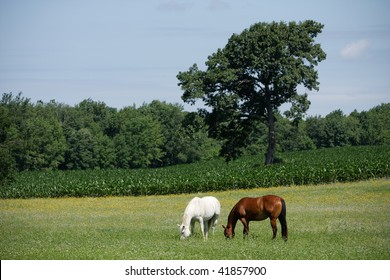 Horses in Field with Corn. Horizontal format.