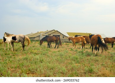 Horses in field, grazing and chilling in the meadow, herd of horses near the stables