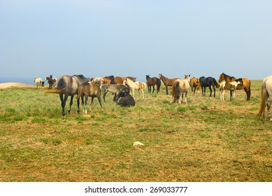 Horses in field, grazing and chilling in the meadow near the sea, herd of horses