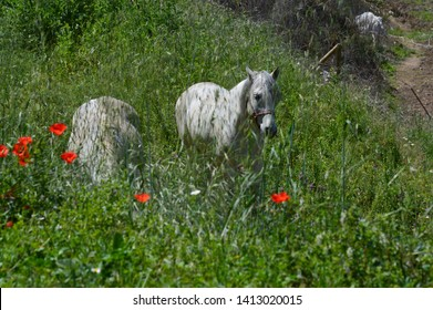 Horses in the field with poppies