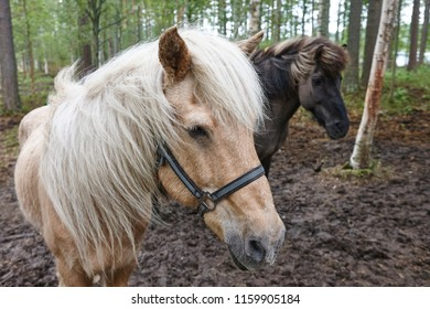 Horses in a Finland forest landscape. Animal background. Horizontal